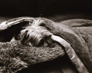 My Yorkie sleeping on couch